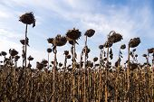 pic of drought  - drought of a sunflower field in late summer - JPG