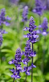 stock photo of salvia  - Blue Salvia  - JPG