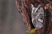 stock photo of screech-owl  - A close - JPG