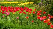 image of rockefeller  - A swath of bright red tulips across a lush garden landscape - JPG
