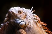 image of giant lizard  - Portrait of a lizard close up. Zoo in Malaysia