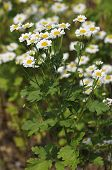 image of feverfew  - Feverfew - Tanacetum parthenium