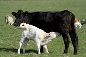 foto of charolais  - contented cow lets her calf feed - JPG