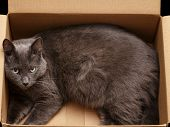 image of catnip  - British shorthair cat in the box  looking out - JPG