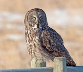 pic of hedwig  - A Great Gray Owl sits in the early morning sun during a cold Alberta winters day - JPG