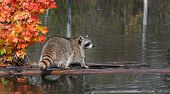 Raccoon (Procyon lotor) Stands On Log Looking Right