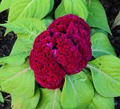 stock photo of celosia  - Red Cockscomb Flower Or Celosia Cristata Blossom