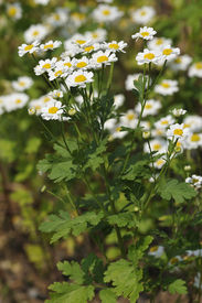 pic of feverfew  - Feverfew - Tanacetum parthenium Used to prevent migraine headaches ** Note: Shallow depth of field - JPG