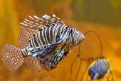 picture of lion-fish  - lion - JPG