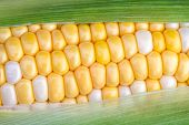 image of sweet-corn  - The green husk is partially removed to reveal yellow and white bi color sweet corn on the cob - JPG