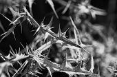 stock photo of spiky plants  - Detail close up of dried dead thistle plant with spiky leaves - JPG