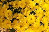 picture of auburn  - Closeup of yellow vibrant auburn Chrysanthemums bouquet suited as background - JPG