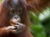 stock photo of orangutan  - Orangutan in the jungle of Borneo - JPG