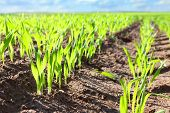stock photo of photosynthesis  - Young wheat seedlings growing in a soil - JPG