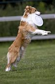 picture of frisbee  - The playfull dog catches a white frisbee - JPG