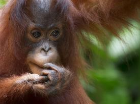 stock photo of orangutan  - Orangutan in the jungle of Borneo - JPG