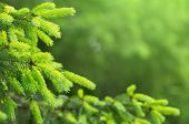 stock photo of coniferous forest  - Coniferous forest - JPG