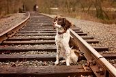 picture of dog tracks  - Young Brittany puppy sitting on Railroad Tracks  - JPG