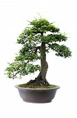 image of bonsai  - Bonsai pine tree against a white wall - JPG