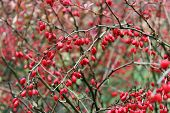 stock photo of barberry  - A branch of ripe red berries of barberry - JPG