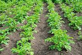 picture of potato-field  - Field with a young bushes of potatoes - JPG