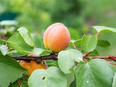pic of peach  - hanging on a tree ripe peaches - JPG