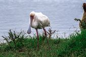 picture of marshes  - An african spoonbill looking around marsh land  - JPG