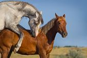 image of copulation  - Grey and red horse mating in the field - JPG
