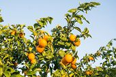 stock photo of tangerine-tree  - Tangerine Tree. Ripe and fresh tangerines with leaves on tree against blue sky