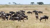picture of wildebeest  - Herd of blue wildebeests Connochaetes taurinus grazing in the savannah in Serengeti National Park Tanzania  - JPG