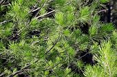 picture of pine-needle  - Nature background  - JPG
