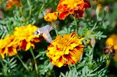 picture of hawk moth  - Insect hummingbird hawk - JPG
