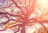 picture of toned  - Southern live oak tree with widely spread branches dreamy vintage toning applied - JPG