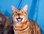 stock photo of bengal cat  - Red Bengal cat meowing on blue background - JPG