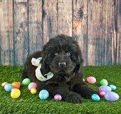 stock photo of newfoundland puppy  - Very cute Newfoundland puppy laying in the grass with Easter eggs around her - JPG