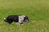 stock photo of herding dog  - Stock Dog Stalks Right  - JPG