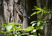 stock photo of goanna  - Australian Goanna  - JPG