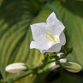 stock photo of harebell  - White bellflower  - JPG