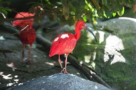 stock photo of scarlet ibis  - Scarlet ibis standing on a rock - JPG