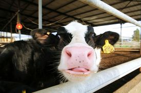 picture of farm landscape  - meat dairy breed cows on farm - JPG