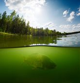 picture of freshwater fish  - Split shot of the freshwater pond with forest above the surface and fish  - JPG