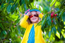 picture of orchard  - Kids picking cherry on a fruit farm - JPG