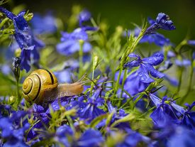 picture of lobelia  - Close up of snail on blue lobelia flower in garden - JPG
