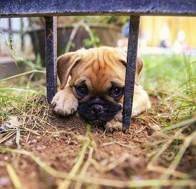 pic of chug  - a cute pug chihuahua mix puppy  - JPG