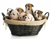 image of fluffy puppy  - litter of puppies  - JPG