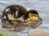 Fuzzy Mallard Chick Going For A Swim In A Scottsdale, Arizona Lake. poster