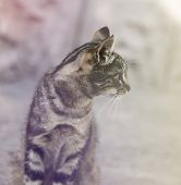 Young Gray Tabby Cat, Selective Focus, Close Up poster