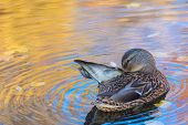 The Duck Or Drake In The City Lake Or The Pound Cleaning Plumage In The Water Colored In Yellow, Red poster
