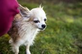 Little Old Pedigreed Chihuahua Dog With Vet poster