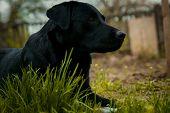 Black Labrador Retriever On Grass Took The Scent poster